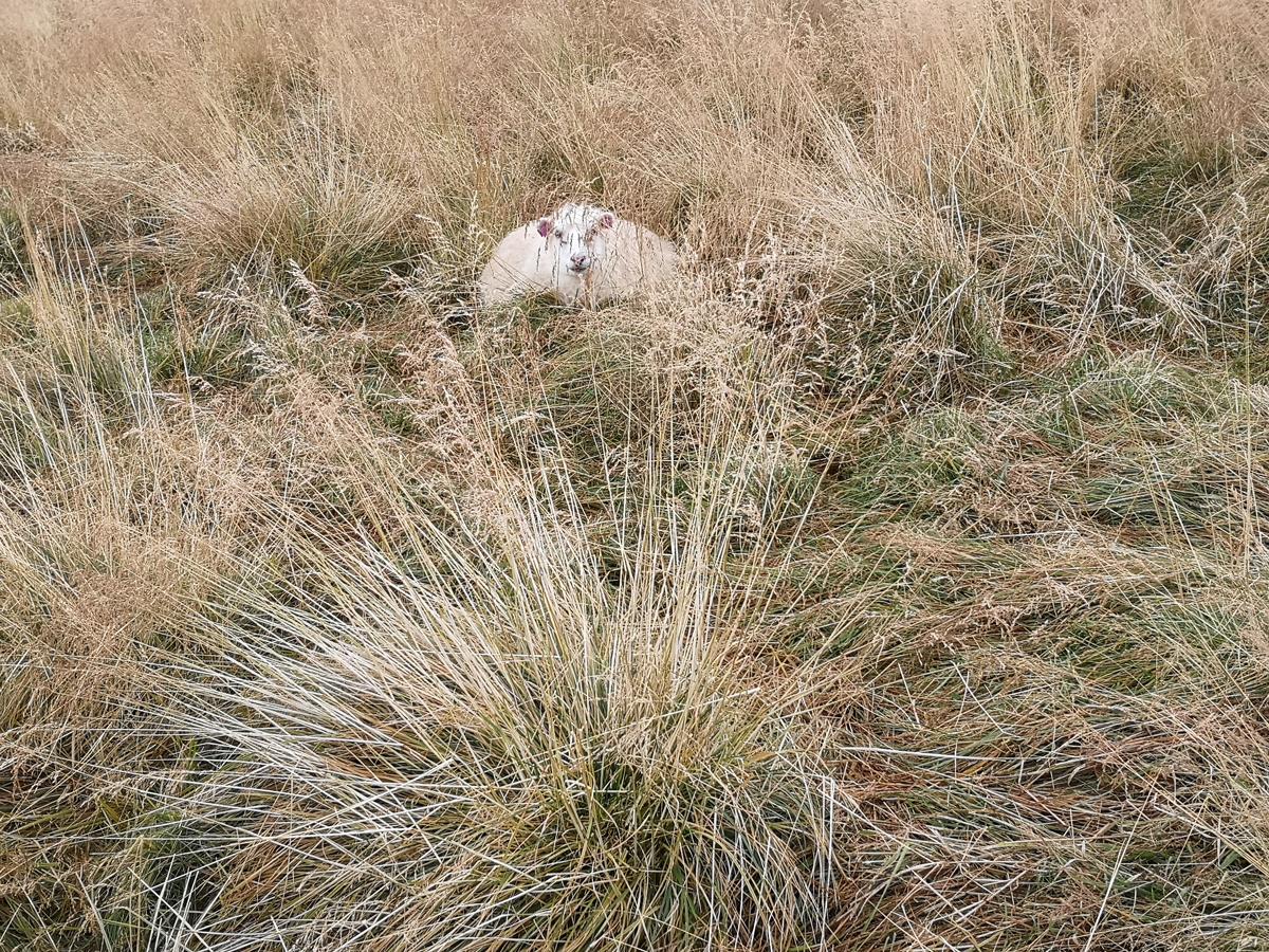 Ovca leži u žutoj travi