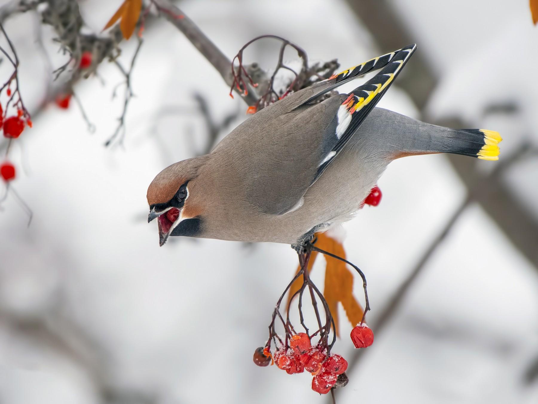 Kugara, ptica