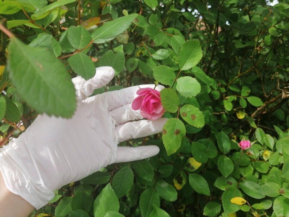 Ruka u gumenoj rukavici pred grmom ruže, drži jednu ružu među prstima